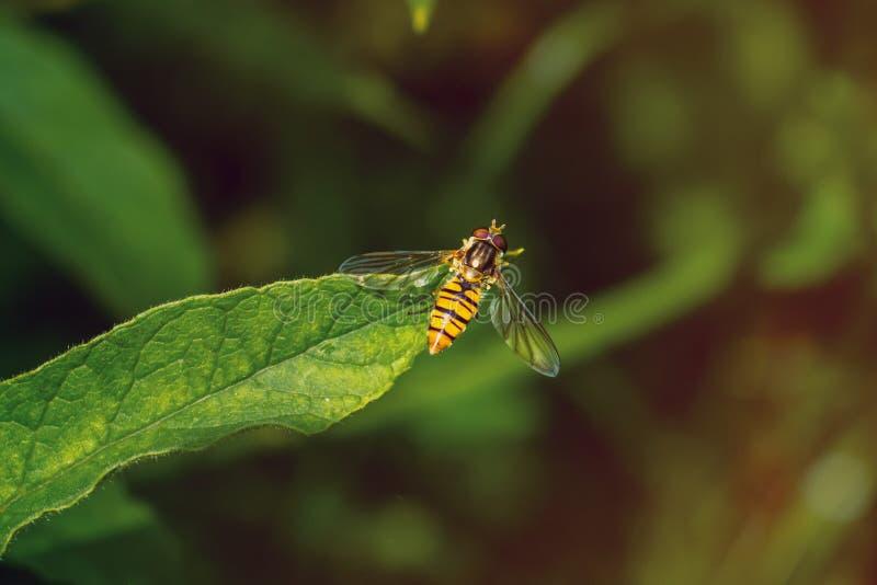hoverfly橘子果酱在绿色叶子 图库摄影