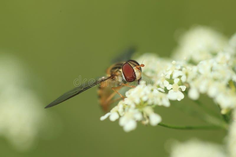 hoverfly橘子果酱 免版税库存照片