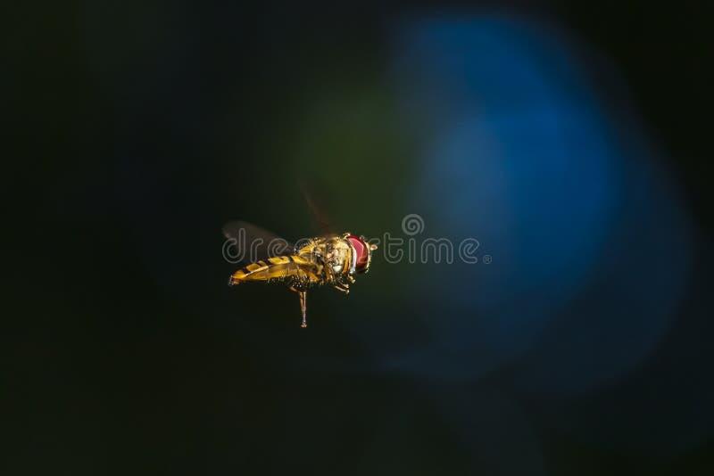 hoverfly橘子果酱Episyrphus balteatus昆虫飞行 免版税图库摄影