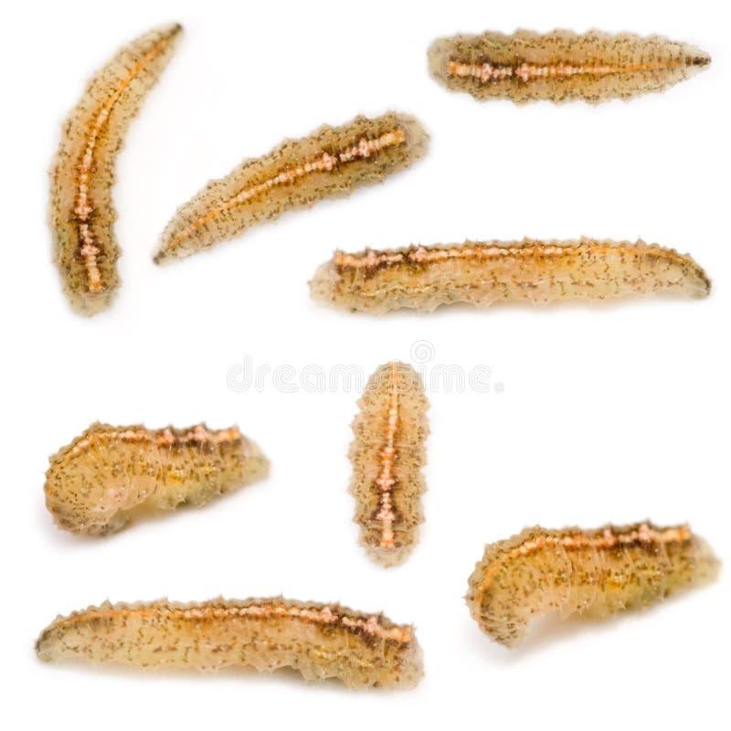 hoverfly личинки стоковая фотография