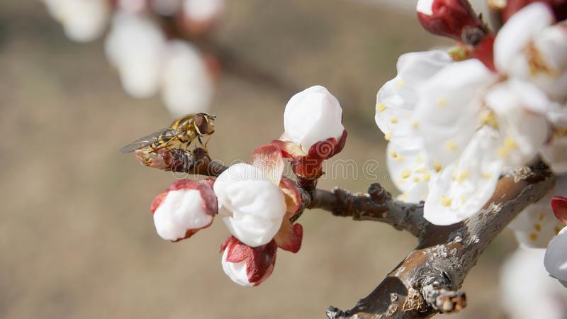 Hoverfly на ветви дерева абрикоса стоковые фотографии rf