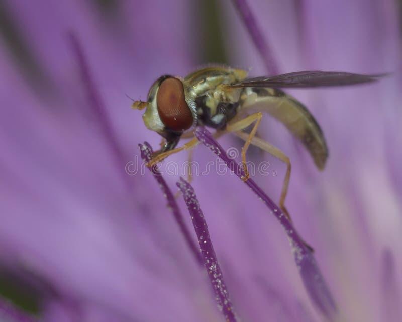 Hoverfly на пурпуровом цветке стоковые изображения