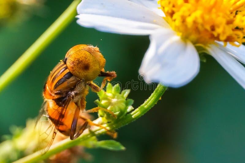 Hoverfly отдыхая на ветви стоковая фотография rf