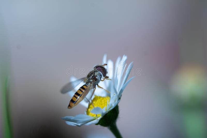 Hoverfly отдыхая на маргаритке стоковое фото rf