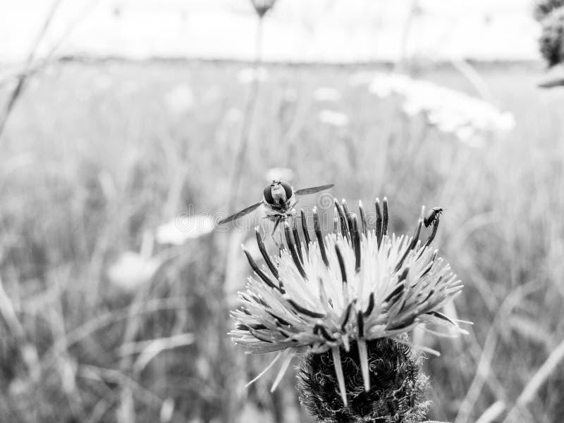 Hoverfly отдыхая на пинке/пурпурной голове цветка thistle стоковая фотография rf