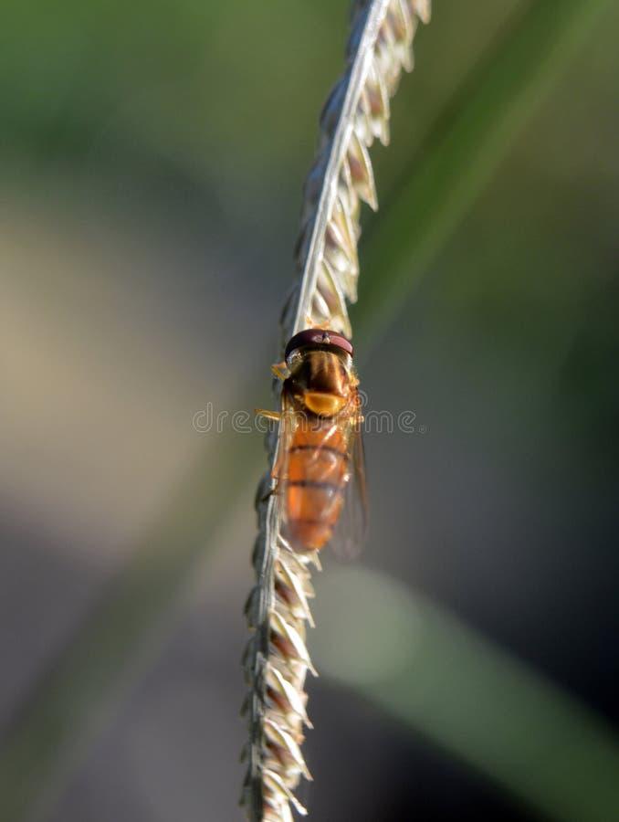 Hoverfly отдыхая на траве Бермудских Островов стоковое фото rf