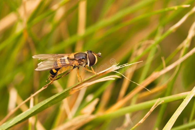 Hoverfly отдыхая на траве стоковая фотография