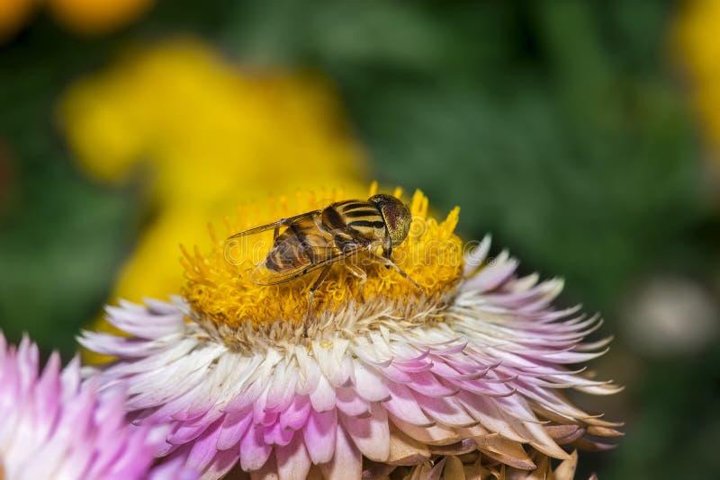 Hoverfly/收集花蜜的蜂蜜蜂从在晴朗的一朵花 免版税库存照片