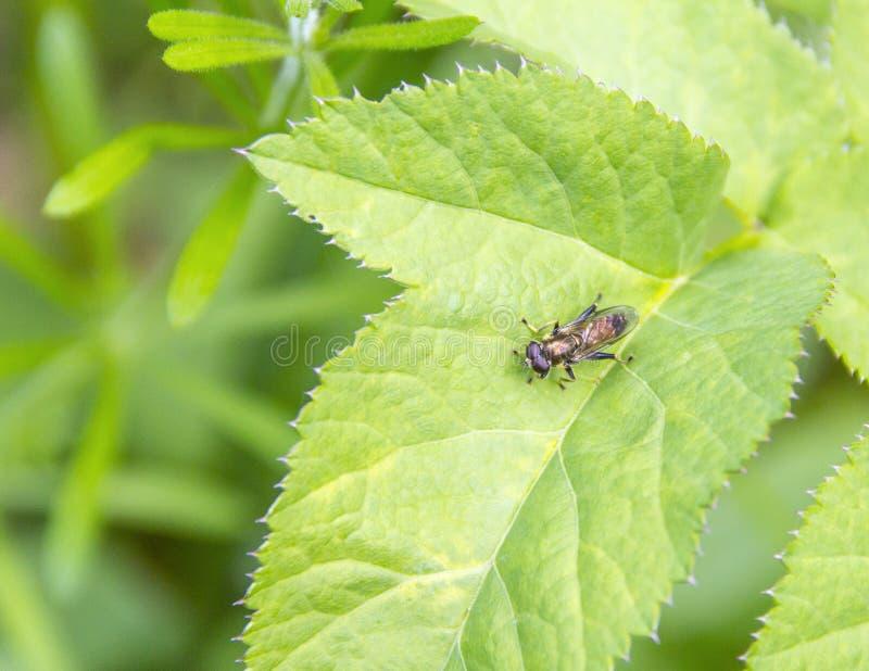 hoverfly绿色叶子 免版税图库摄影