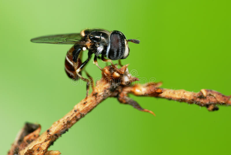hoverfly 免版税图库摄影