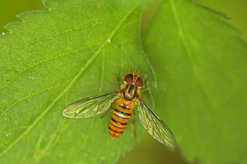 Hoverfly stock afbeelding