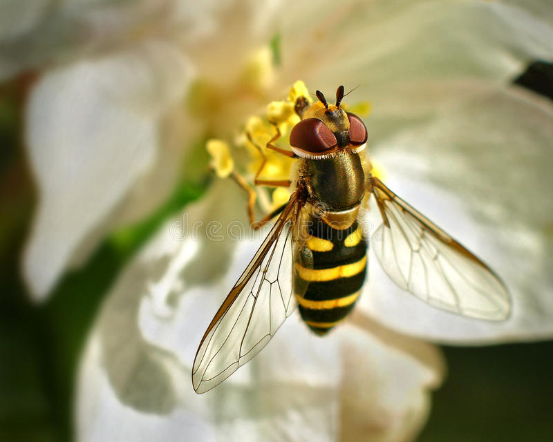 Hoverfly immagine stock