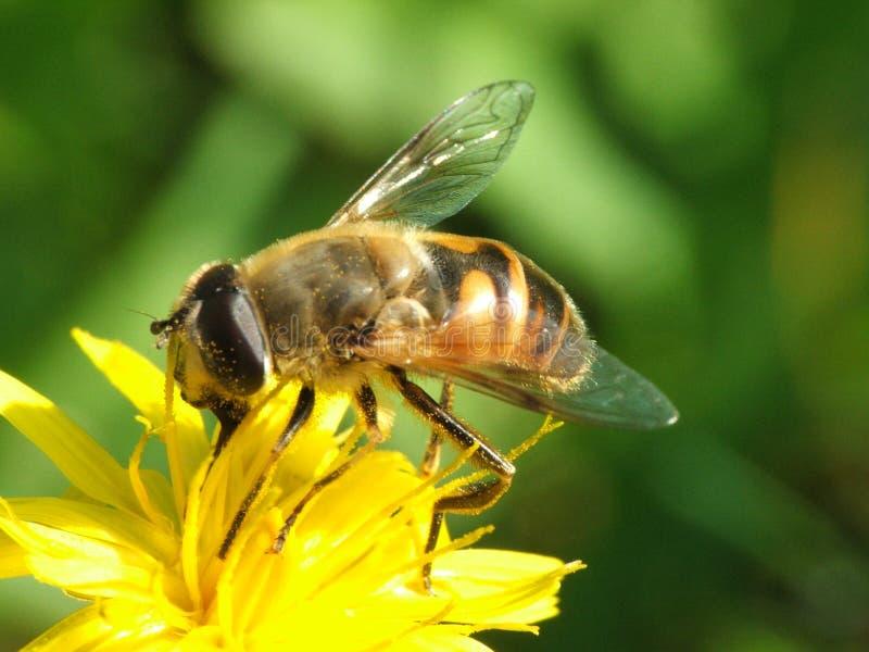 Hoverfly images libres de droits
