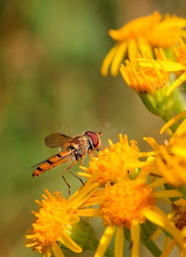 Hoverfly στοκ εικόνα με δικαίωμα ελεύθερης χρήσης