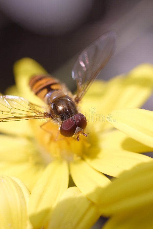 Download Hoverfly стоковое изображение. изображение насчитывающей природа - 494703