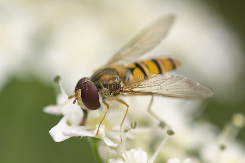 Hoverfly στοκ φωτογραφίες