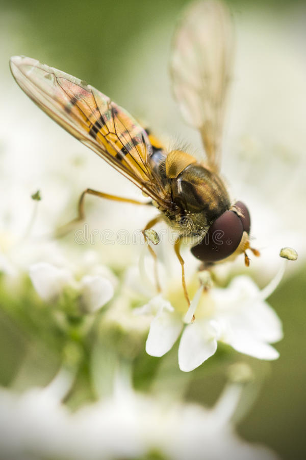 Hoverfly 库存照片