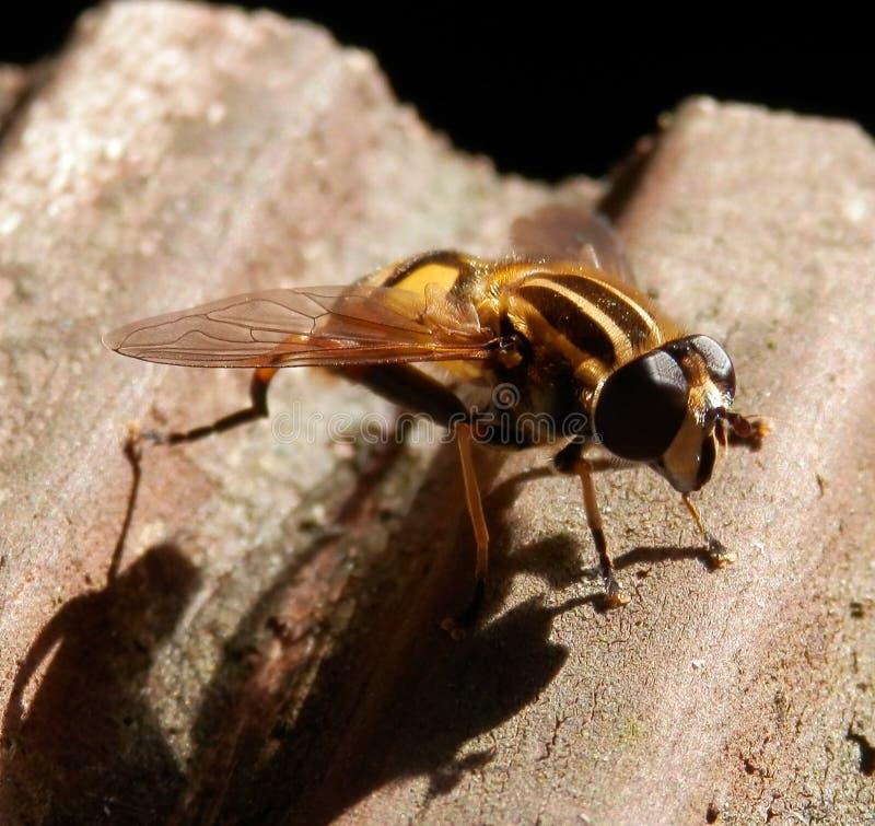 Hoverfly fotografía de archivo