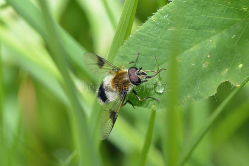 Hoverfly arkivfoto