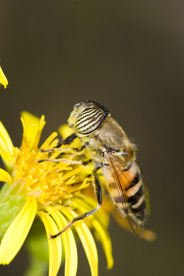 Free Hoverfly Royalty Free Stock Images - 7020349
