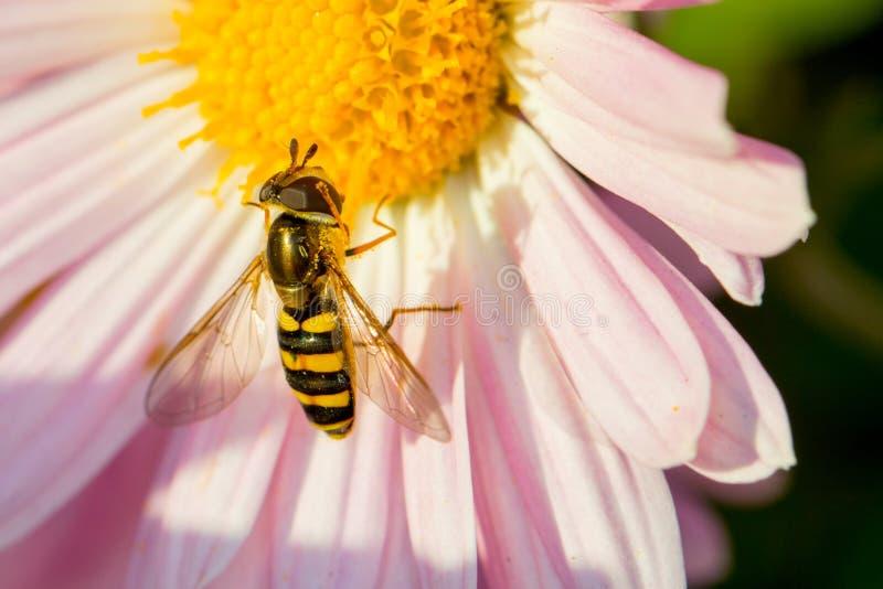 Hoverfly fotografia stock