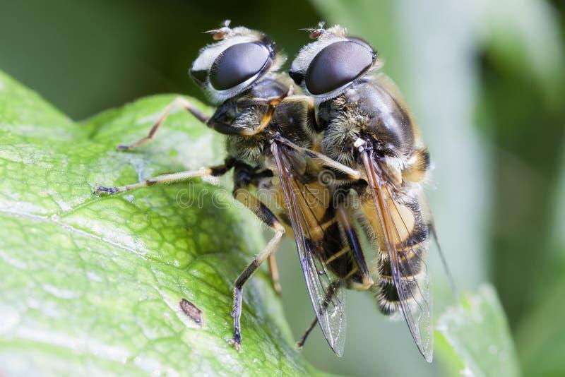 Hoverfly - acoplando-se fotos de stock royalty free