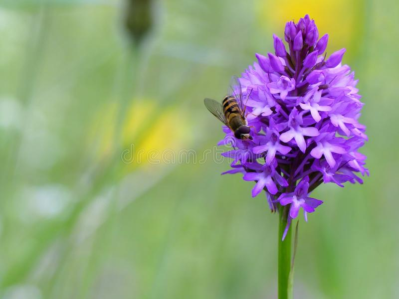 Hoverfly alimentant sur l'orchidée pyramidale photos libres de droits