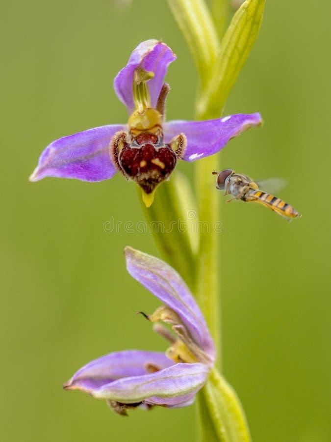 Hoverfly amarelo perto das flores cor-de-rosa da orquídea de abelha fotos de stock royalty free