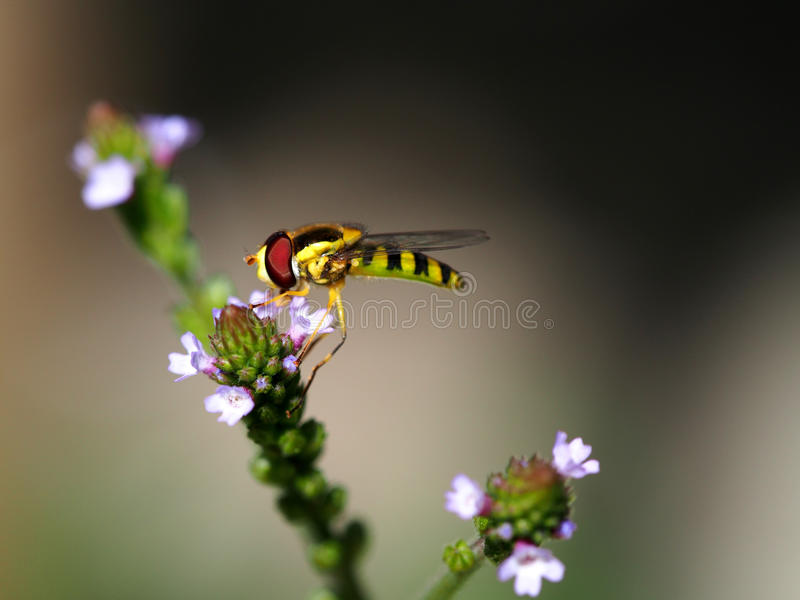 Hoverfly au travail photographie stock