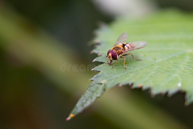 hoverfly balteatus episyrphus叶子 免版税库存照片