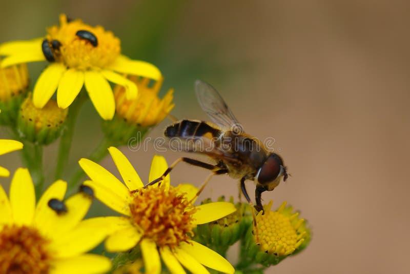 Hoverfly che mangia polline fotografie stock