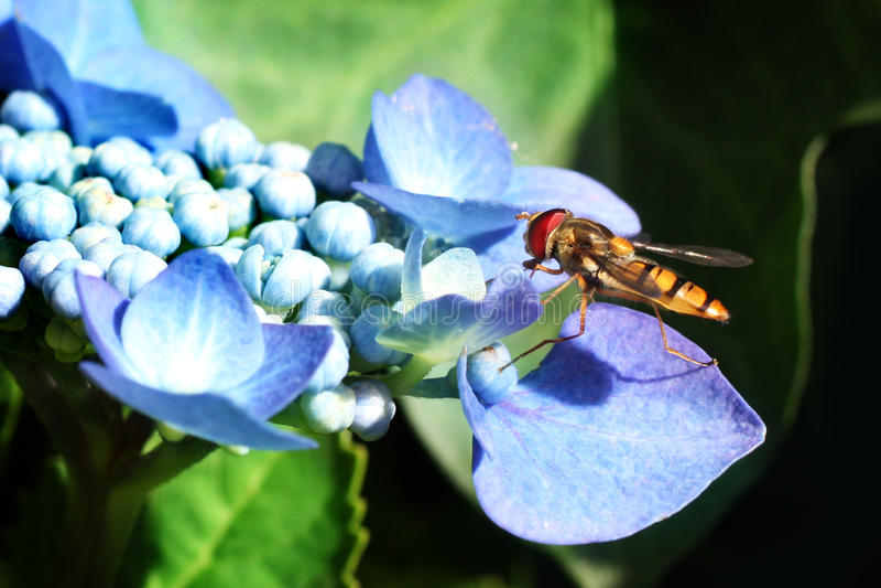 Hoverfly che si siede sul hydrangea immagini stock