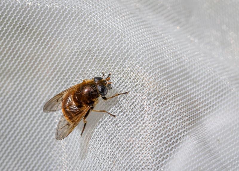 Hoverfly, chrysocoma di Cheilosia, femmina ha preso in una rete per scienza immagini stock libere da diritti