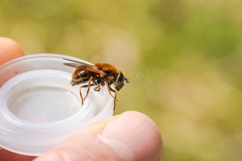 Hoverfly, chrysocoma di Cheilosia, femmina, sedentesi su una copertura di plastica immagine stock libera da diritti