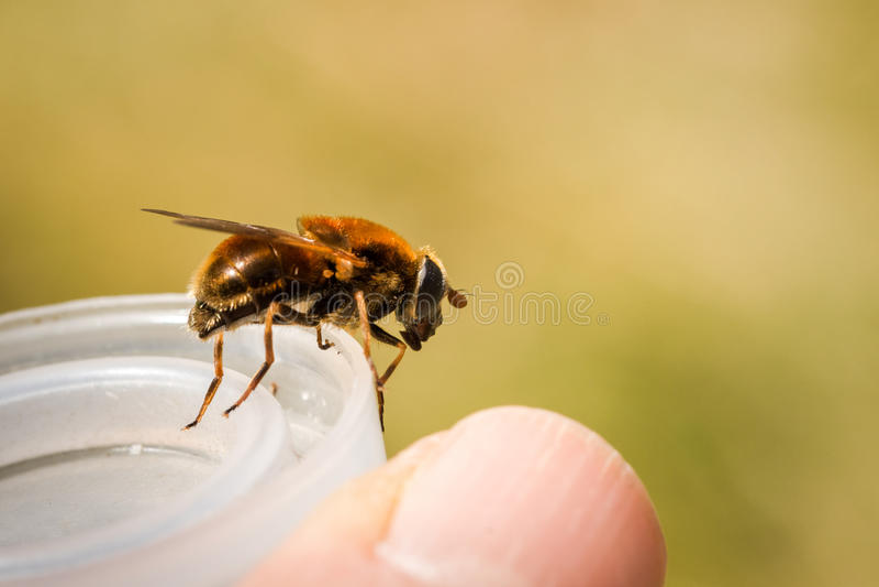 Hoverfly, chrysocoma di Cheilosia, femmina, sedentesi su una copertura di plastica immagini stock