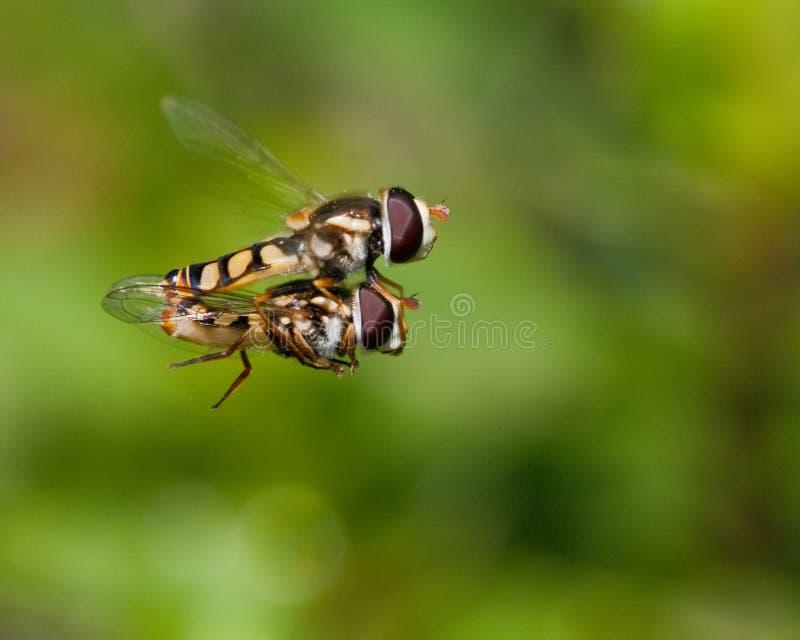 Hoverfly - clube alto da milha imagem de stock