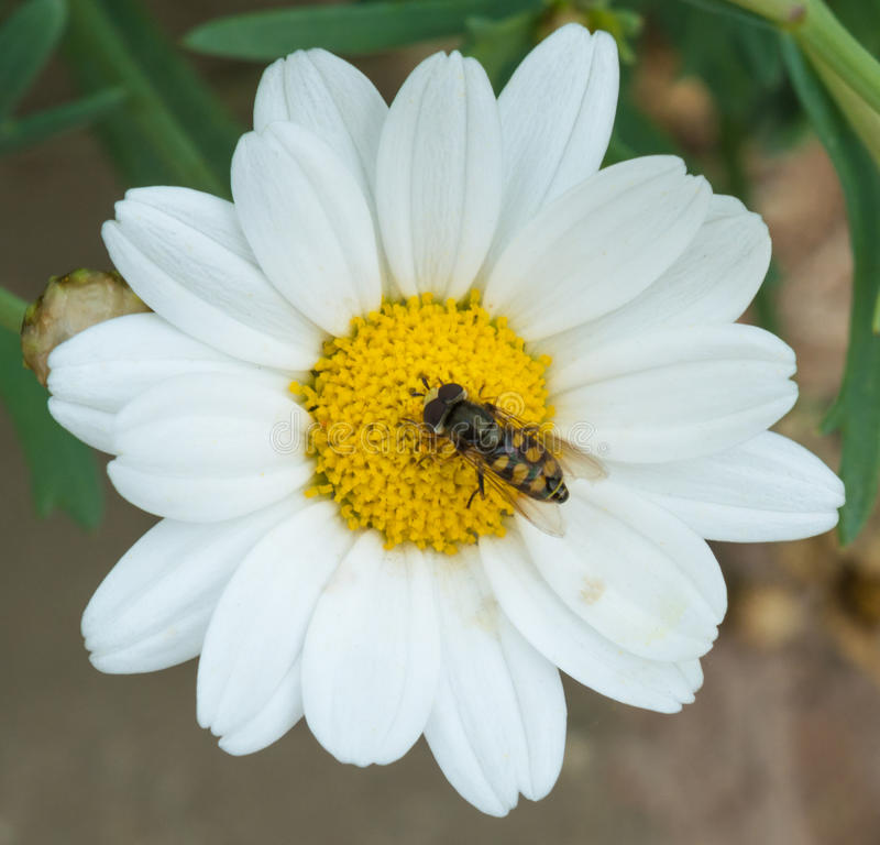 Hoverfly on Daisy royalty free stock images