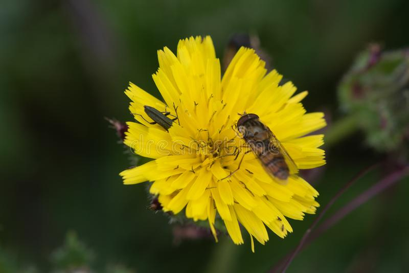 Close up photo of marmalade hoverfly on dandelion, with another insect burrowing in the petals. . Close up photo of hoverfly (episyrphus balteatus) royalty free stock photography