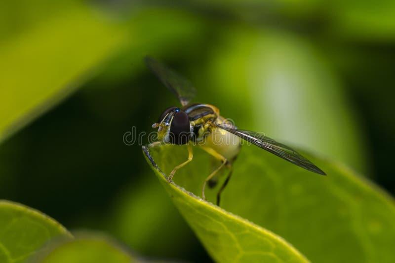 hoverfly Episyrphus belteatus昆虫宏指令 免版税库存照片