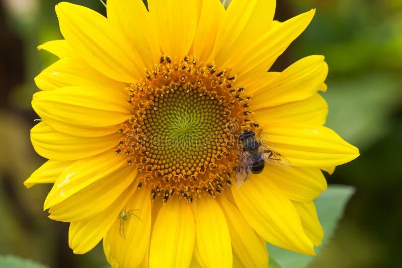 Hoverfly Eristalis na słonecznikowej rośliny widoku makro- zapylaniu Żółty płatka kwiat z komarnicą głębokość pola płytki fotografia royalty free