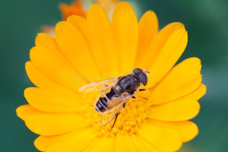 Hoverfly Eristalis sur pollinisation de vue d'usine de souci de Calendula la macro Fleur jaune de pétales avec la mouche Profonde image libre de droits