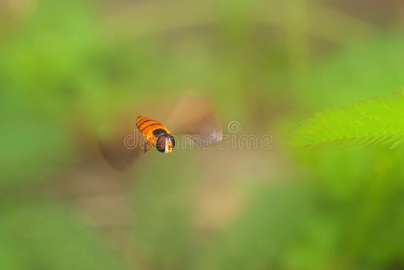 Download Hoverfly in-flight stock photo. Image of nature, grass - 17546438