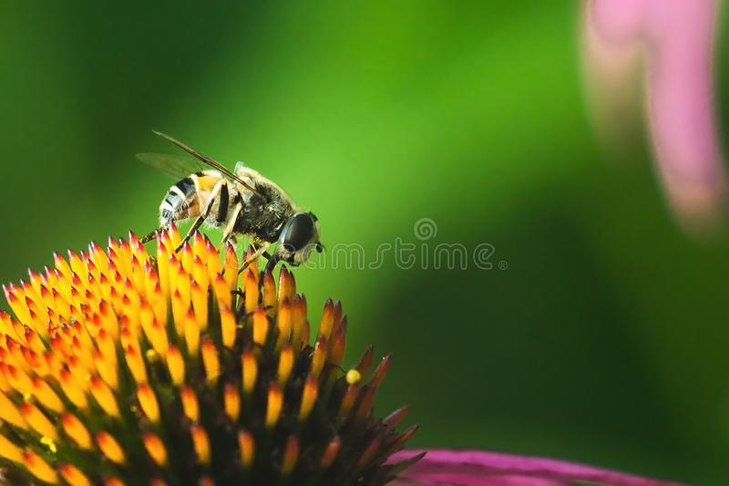Hoverfly, flower fly, syrphid fly. Eupeodes luniger collects nectar from the pink flower. Mimicry of wasps and bees. Macro photo. royalty free stock photos