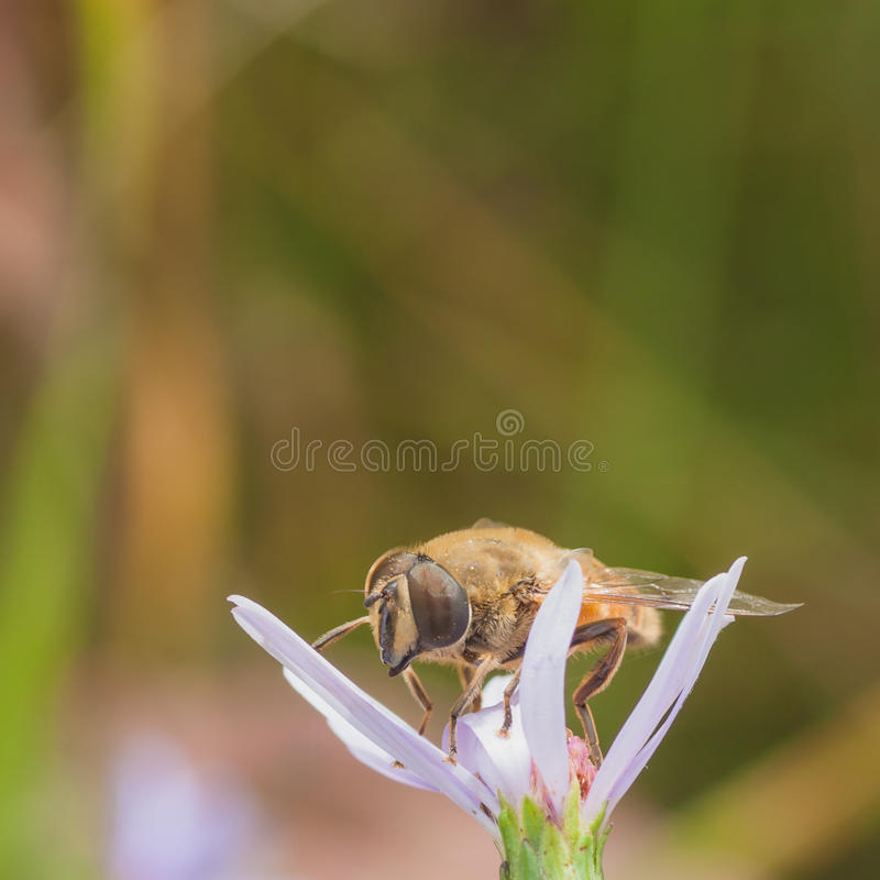 Download Hoverfly on a Flower stock photo. Image of animalia, aschiza - 59108406