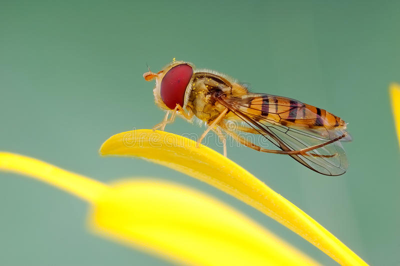 Download Hoverfly on flowers stock image. Image of leisurely, natural - 28228057