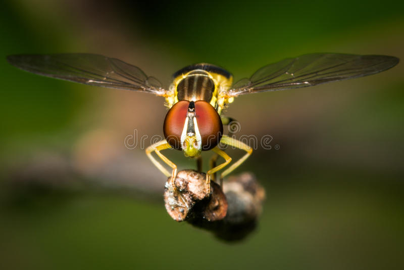 Hoverfly. Frontal Portrait of a Hoverfly stock photo