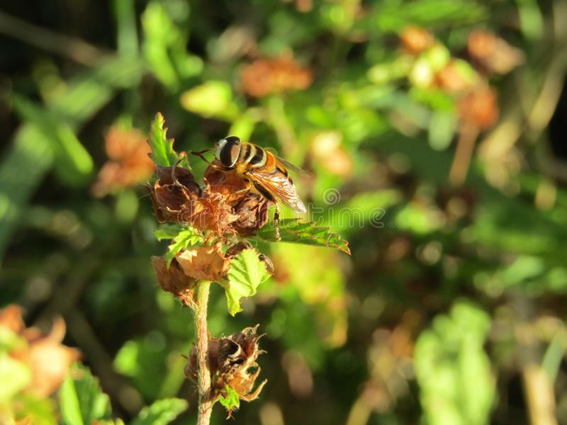 Hoverfly getting ready royalty free stock photos