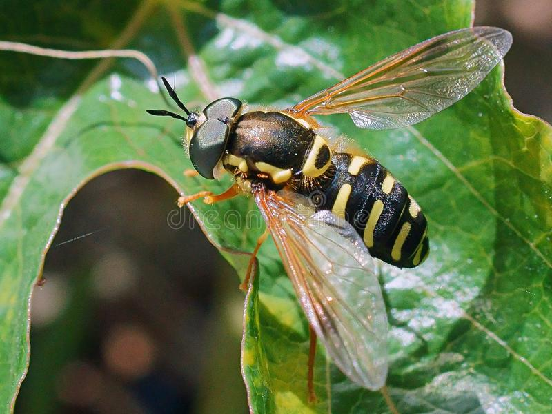 Hoverfly on a green leaf royalty free stock image