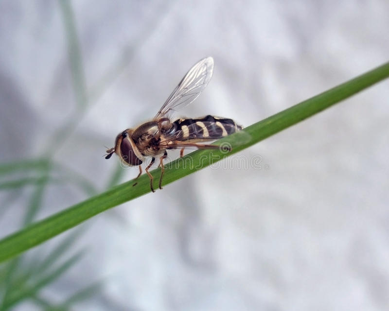 Download Hoverfly on green stalk stock image. Image of nobody - 33149297