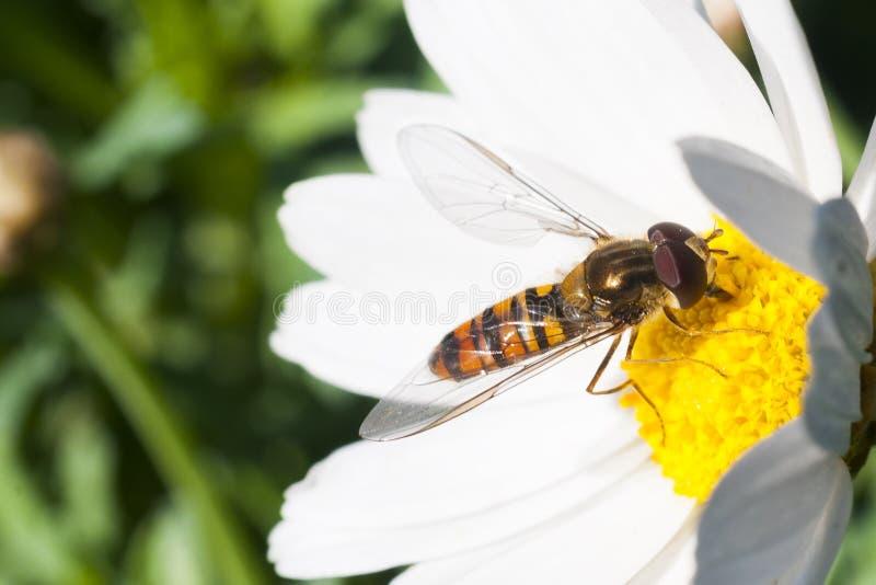 Hoverfly het voeden op madeliefjebloesem, sluit omhoog geschoten stock afbeelding